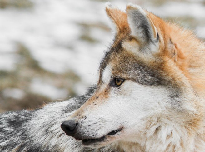 Como un lobo